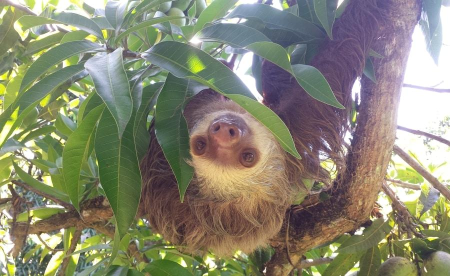 Teen Sloth at the Costa Rica Animal Rescue Center, Adiseeesworld Blog