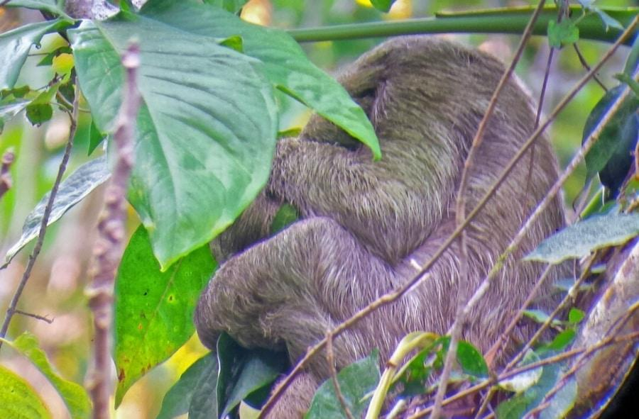 Costa Rica Sloth photo by Adi Ben Ezer