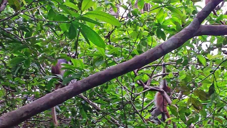 Jozani Forest, Colobus Monkeys, Zanzibar, Tanzania